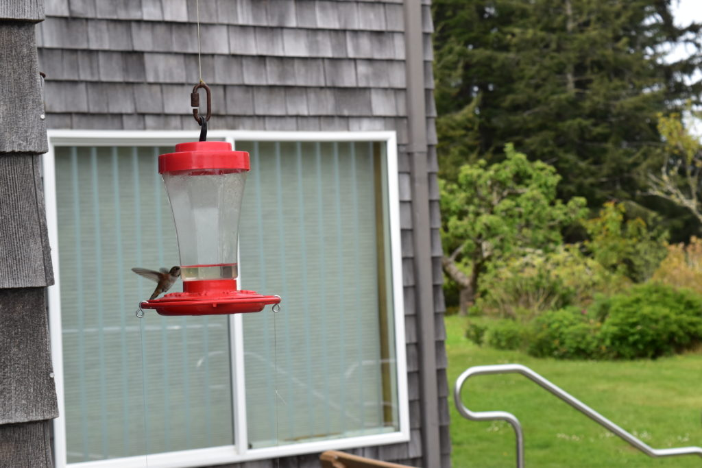 Hummingbirds Newport Oregon